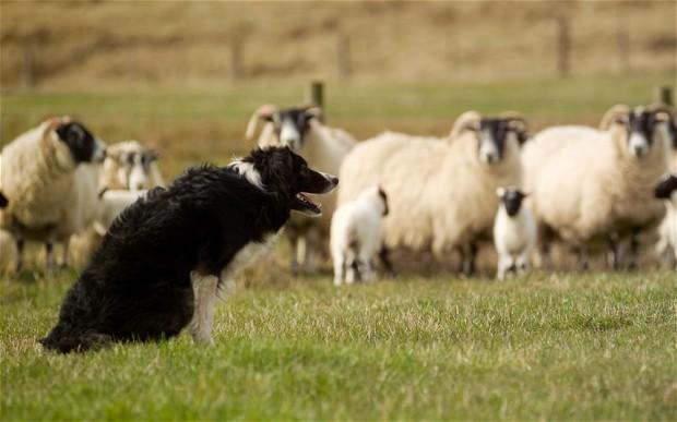 sheep-dog_2167318b